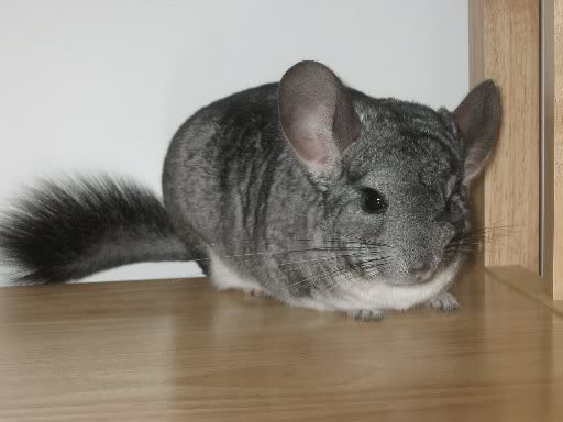 File:Chinchilla.jpg